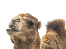 Two-humped bactrianus Camelus верблюда с смешным isol выражения Стоковые Изображения