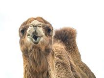 Two-humped bactrianus Camelus верблюда с смешным isol выражения Стоковое фото RF