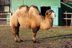 Two-humped camel Stock Photo