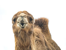 Two-humped camel Camelus bactrianus with funny expression isol Royalty Free Stock Photo