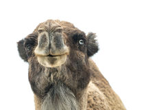 Two-humped camel Camelus bactrianus with funny expression isol Royalty Free Stock Image