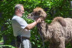 Two-humped camel (Camelus bactrianus) training Royalty Free Stock Images