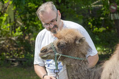 Two-humped camel (Camelus bactrianus) training Royalty Free Stock Image