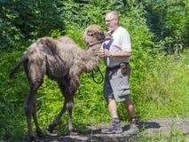 Two-humped camel (Camelus bactrianus) walking Stock Image