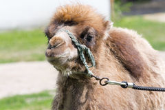 Two-humped camel (Camelus bactrianus) Stock Image