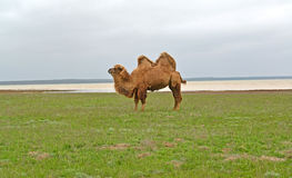 The two-humped camel costs on the bank of the lake Manych-Gudilo in the spring steppe. Kalmykia.  Royalty Free Stock Images