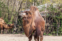 Two humped camel Stock Photo