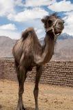 Camel near Leh in Ladakh, India. Royalty Free Stock Photo