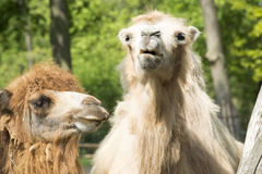 Two-humped Camels Stock Photography