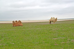 Two-humped camels are grazed on the bank of the lake Manych-Gudilo in the spring steppe. Kalmykia.  Stock Images