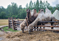 Two-humped camels.Nomad camp Stock Image