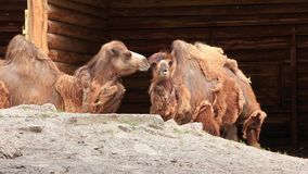 Two-humped camels stock video footage
