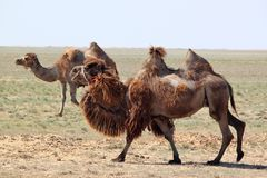 Two humps camel in the desert of Kazakhstan Stock Photo