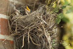 Two hungry baby robins in their nest one with mouth open. Stock Photography