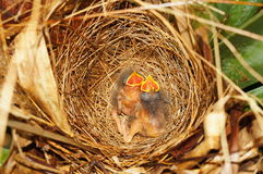 Two hungry chicks of flycatcher bird in the nest Stock Image