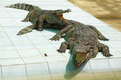 Two hungry crocodiles with open mouths. In expectation of a forage Stock Photo