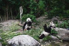 Two Hungry giant panda bear Ailuropoda melanoleuca eating bamboo leaves lying near stone on bank of the reservoir Wildlife animal royalty free stock photo