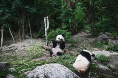 Two Hungry giant panda bear Ailuropoda melanoleuca eating bamboo leaves lying near stone on bank of the reservoir Wildlife animal royalty free stock image
