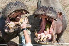 Two Hungry Hippos. Two large hippopotamus with their mouths open waiting for a treat from their trainer royalty free stock image