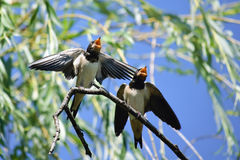 Two hungry swallows Royalty Free Stock Images