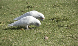 Two hungry white Corellas in a green  grassy field. The two hungry  blue eyed cheeky white Australian corellas have  been scavenging in the green  fields for Stock Images