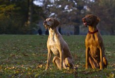 Two hunting dogs. Two attentive Magyar Vizsla hunting dogs royalty free stock photos