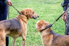 Two hunting dogs of breed a russian hound for a leash during a walk. Exhibition of hunting dogs_. Two hunting dogs of breed a russian hound for a leash during a royalty free stock photo