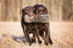 Two hunting dogs carrying a toy together Royalty Free Stock Image