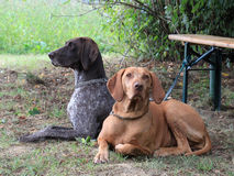 Two hunting dogs lying on the edge Stock Image