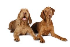 Two hunting dogs lying on white Royalty Free Stock Photography