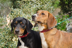 Two hunting dogs Royalty Free Stock Images
