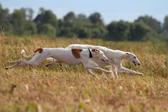 Two hunting dogs run. Together in yellow field Royalty Free Stock Photography