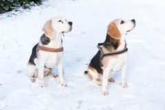 Two hunting dogs sitting together in snow. Looking up royalty free stock photography