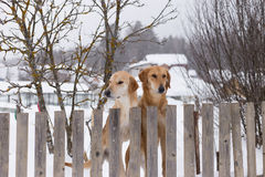Two hunting dogs standing at the fence. In the village Stock Images