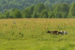 Two hunting dogs work on hunting for birds. Flying snipe. Horizontal stock image