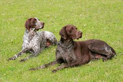 Two hunting setters Stock Images