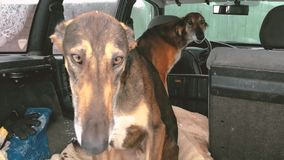Two Hunting Sighthound Hortaya Borzaya Dogs Sitting In Car In Wi. Nter Time. Zoom, Zoom Out stock video