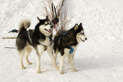 Two huskies face bushes Royalty Free Stock Photos