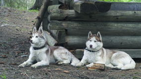 Two huskies lying newt to old wooden house in forest stock footage