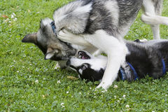 Two Huskies playing. Two Huskies (dogs) playfully fighting stock photos