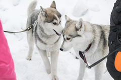 Two Huskies playing Royalty Free Stock Images