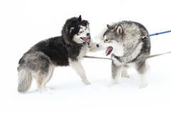 Two Huskies playing Stock Image