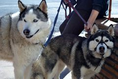 Two huskies. Type of dog used to pull sleds in northern regions, differentiated from other sled-dog types by their fast pulling style Stock Photography
