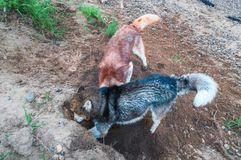 Two husky digging ground. Husky dog rummaging in the sand. Siberian husky digs a hole. Top view. Two husky digging ground. Husky dog rummaging in the sand. View stock images