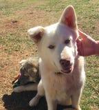 husky dogs royalty free stock image