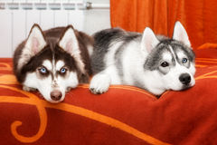 Two husky dogs Royalty Free Stock Photography