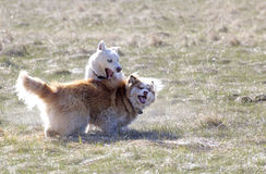 Two Husky Dogs Play in Meadow Royalty Free Stock Image