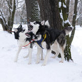 Two Husky Dogs Playing Stock Photos