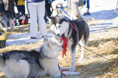 Two husky dogs playing together outdoors Royalty Free Stock Photography
