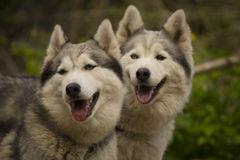 Two Husky dogs Stock Image